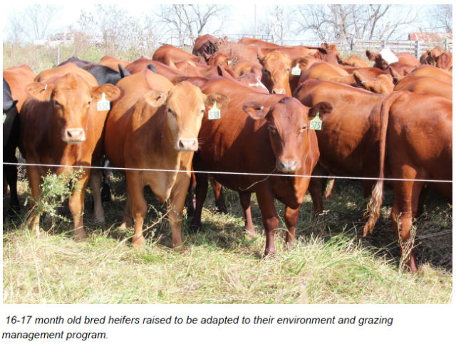 Building a Cow Herd – Billy Bean Style – On Pasture