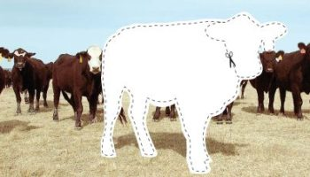 A Cow's Teeth Tell Her Age, and Can Help With Culling Decisions – On
