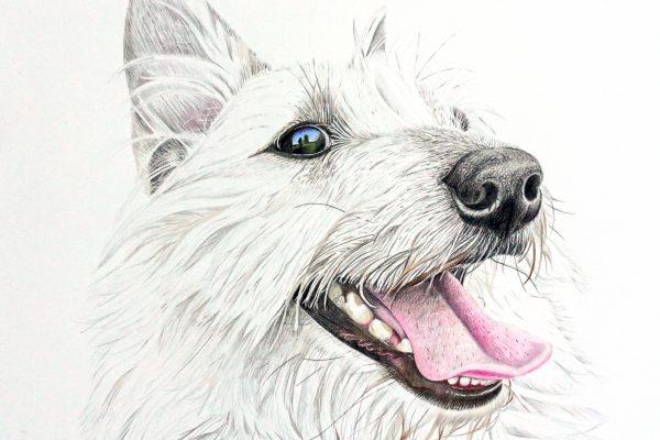 Lily the Westie/Norweigan Elkhound mix