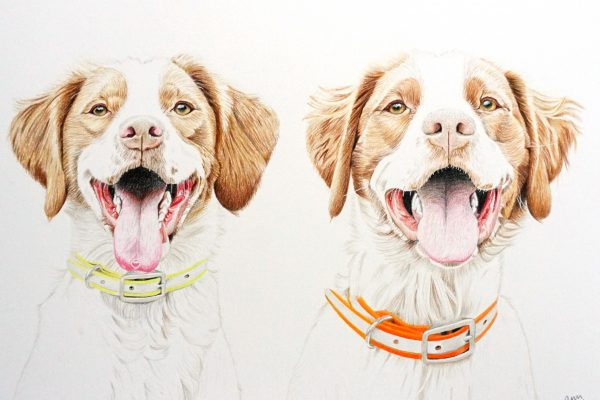 Indy and Rio the Brittany Spaniels