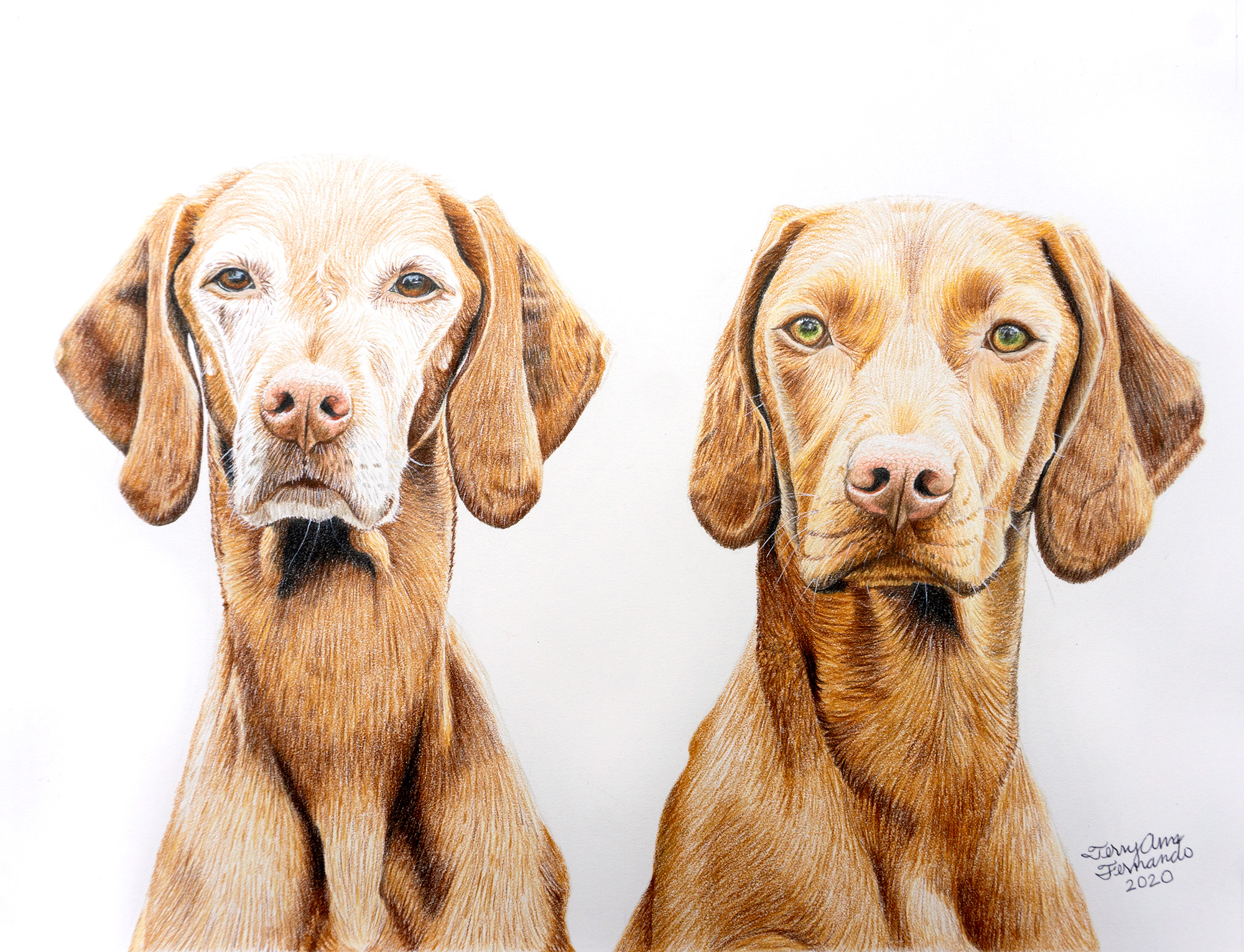 vizsla drawing