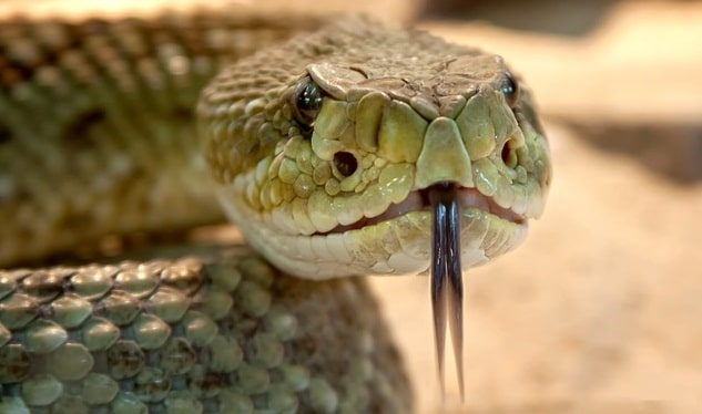 Picture of venomous snake