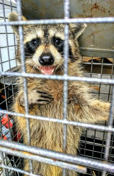 Picture of trapped raccoon