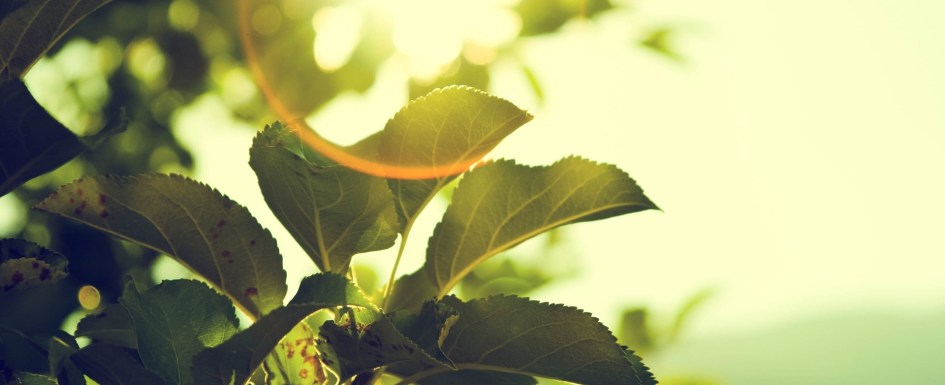 A photo of some fresh, green leaves with bright sunshine shining on them and distorting the photo slightly with its light.