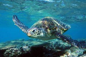Mackerel Islands Turtle