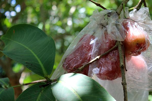 Pomme d'amour sur son arbre, protégé par un plastique pour conserver l'humidité