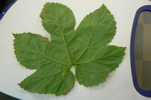 Leaf 416 eggs 1 (1)