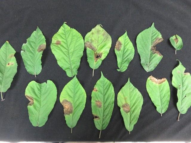 Several detached ginseng leaflets on a black background showing brown irregular lesions on each