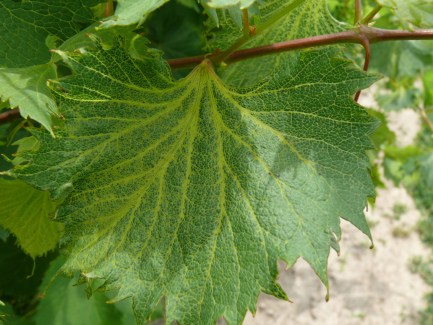 A grape leaf on a vine, green except for the veins which are yellow and mottled.