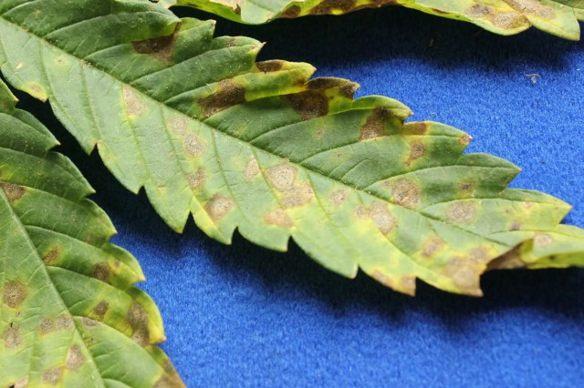 A hemp leaf with circular brown lesions with a yellow halo and black specks within the lesions