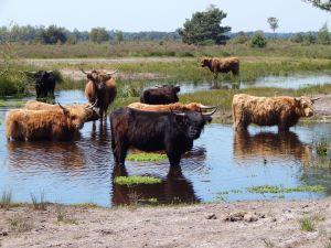 Schotse Hooglanders worden los gelaten in Vressels bos