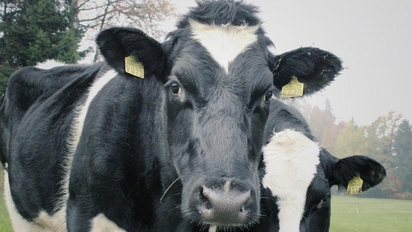 De koeien mogen weer naar buiten, kom jij kijken?