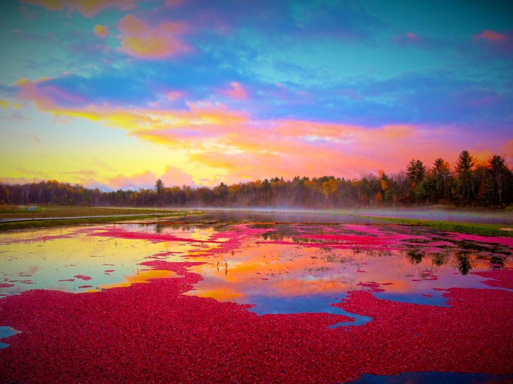Cranberry marsh at Muskoka Lakes Farm & Winery