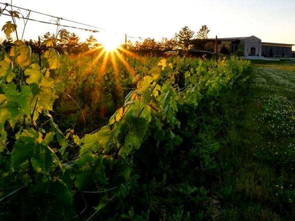 Vineyard at Ravine Vineyard Estate Winery