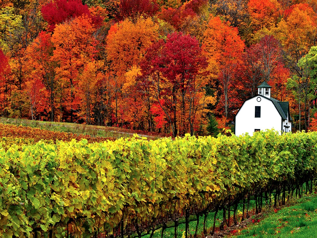 Fall colours and vineyard