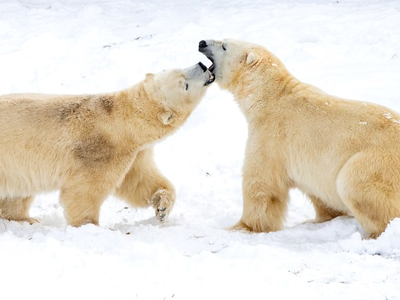 Two polar bears play in the snow at the Polar Bear Habitat in Cochrane