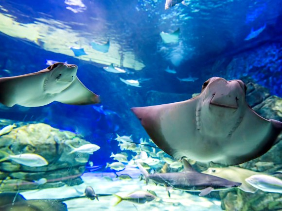 Two stingrays swimming in stingray bay gallery at Ripley's Aquarium