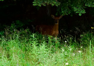 Yound deer emerging for the woods.