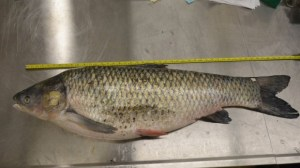Fisheries and Oceans Canada and the Ontario Ministry of Natural Resources confirmed one grass carp was caught in the Grand River near Lake Erie earlier this year. (Fisheries and Oceans Department)