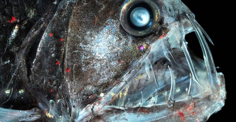 سمكة الأفعى الخبيثة Viper fish