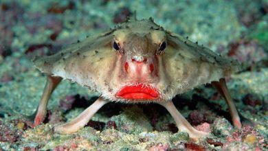 سمكة الخفاش ذات الشفاة الحمراء - Red-lipped Batfish