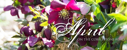 April on the Cobblestone Road newsletter Sara A. Noe hellebore in bloom