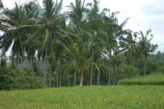 Bali Rice Walk-14