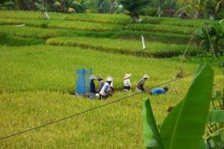 Bali Rice Walk-17