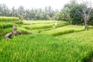 Bali Rice Walk-18