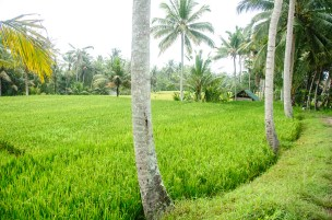 Bali Rice Walk-9