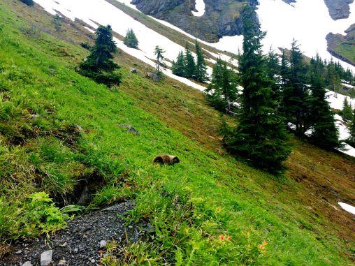 Marmot on the hike up