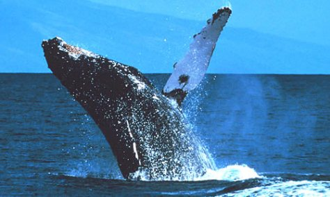 8-19 - Whale leaping