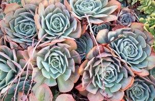 Succulents in the garden