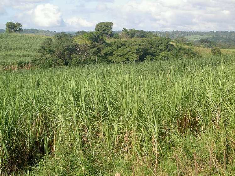 sugar cane cuba