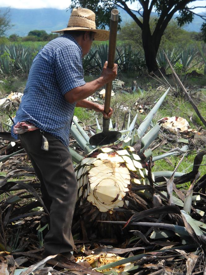 Jimador harvesting agave for tequila