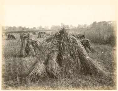Hugh Owen ( before 1855) Harvest scene with stooks, albumen print, 1860s-1870s, from a paper negative, 17.2 x 22.3 cm