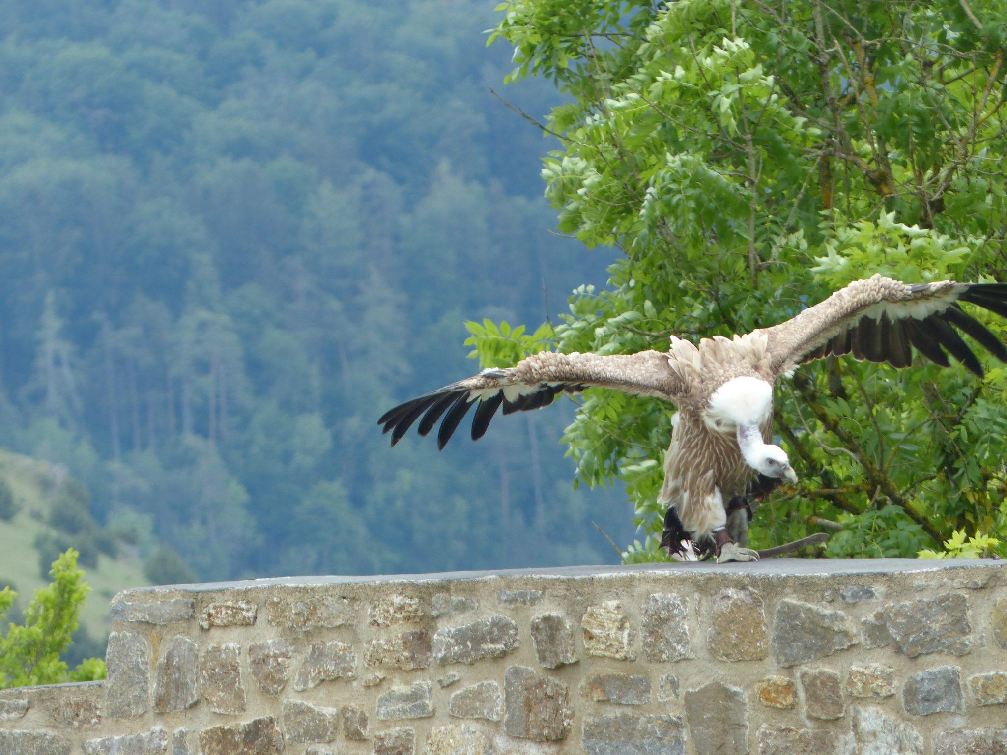 Greifvogel Geier