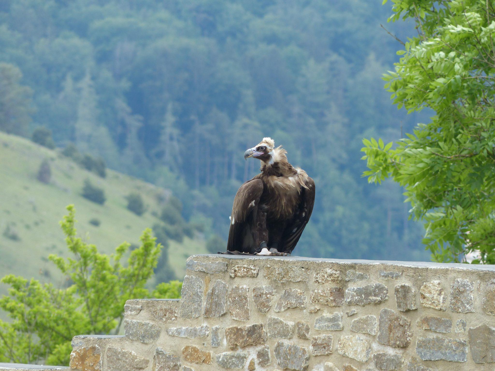 Greifvogel sitzt auf Mauer Flugvorführung