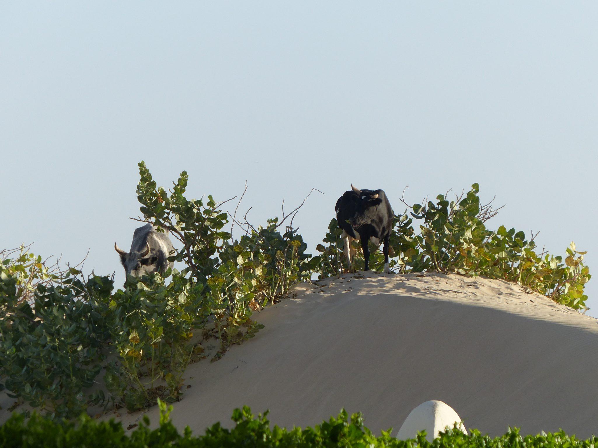 Kühe in der Sanddüne Sträucher Boha Vista