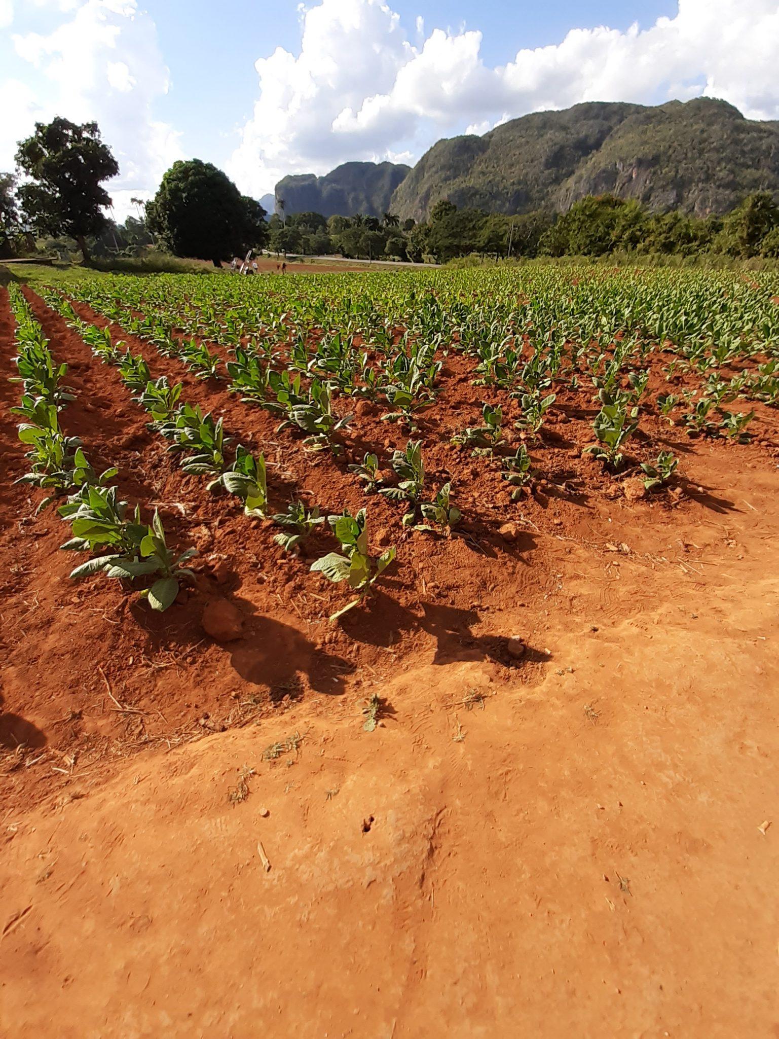 Tabakbauern Tabakpflanzen