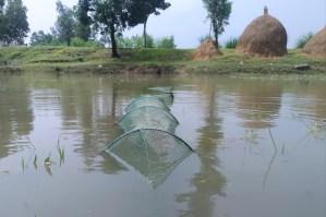 ঠাকুরগাঁওয়ে বর্ষার শুরুতেই চলছে 'মা' মাছ নিধন