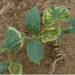 Figure 3. Glyphosate injury on cucurbit