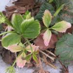 Figure 4. Glyphosate drift on strawberry