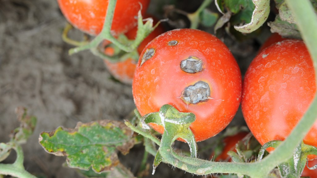 Bacterial spot lesions on processing tomato fruit