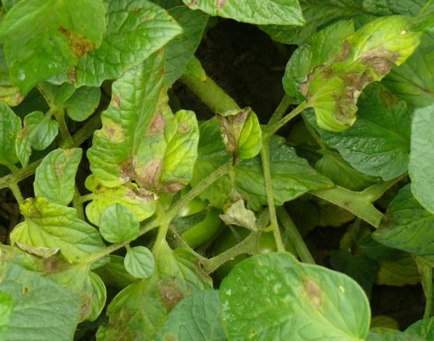 Early foliar symptoms of late blight