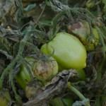 Late blight fruit symptoms