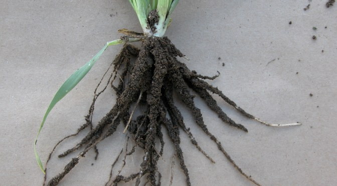 It's the Root that Counts with Cover Crops