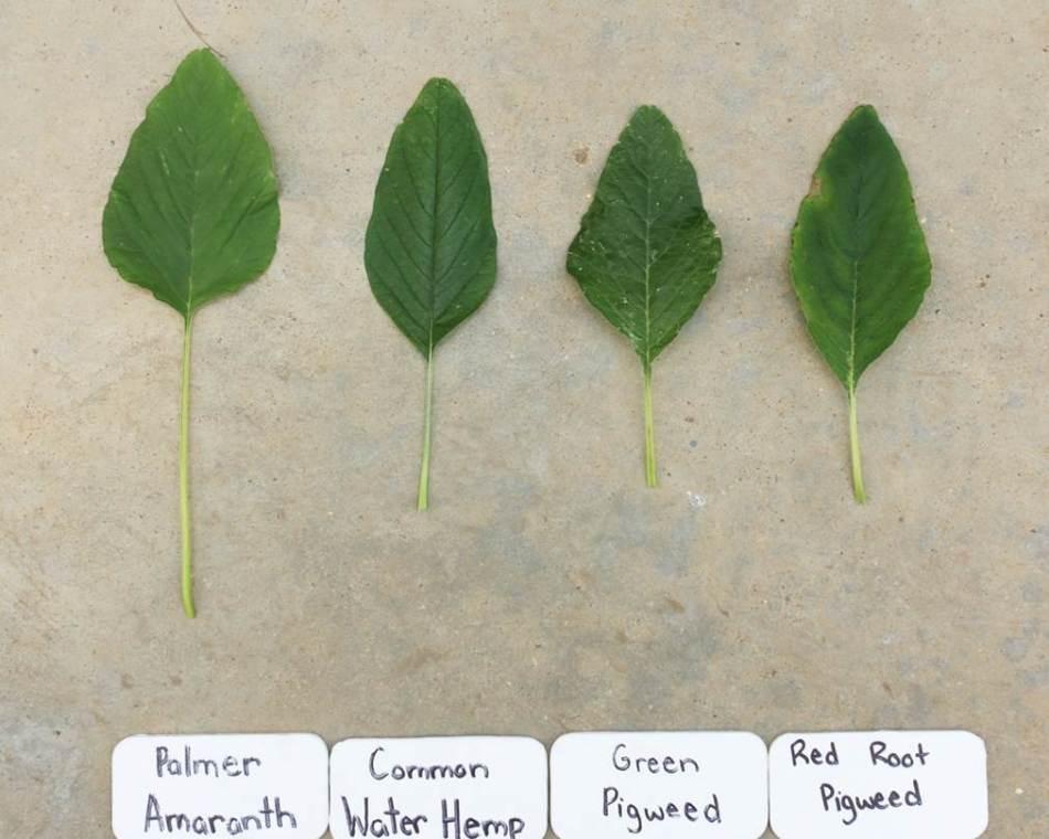Amarranth species leaves Shropshire