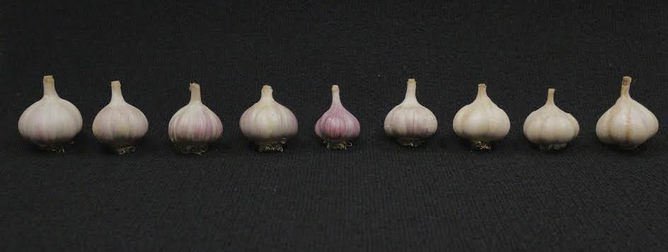 garlicv2crop