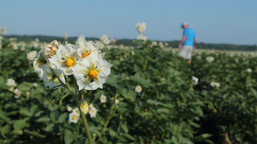 Close up of a white potato flower in full bloom. An IPM scout walks the field in the background